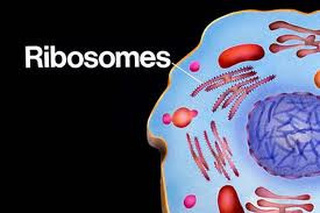 Ribosomes - MTB Cell Project